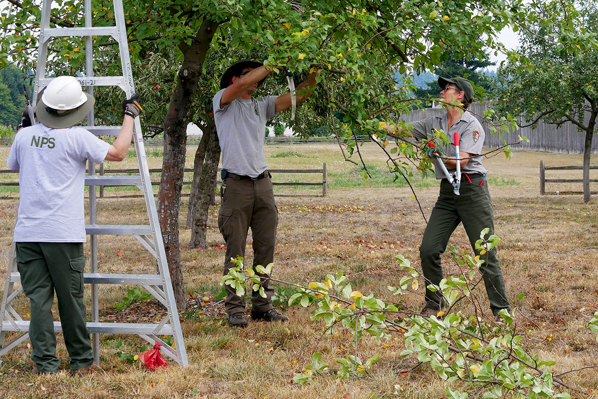 Susan Dolan trimming an apple tree