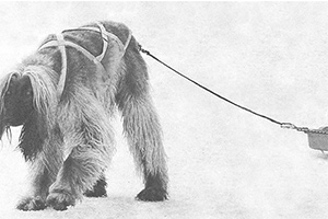 dog pulls barrel on sled