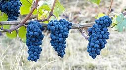 grape bunches